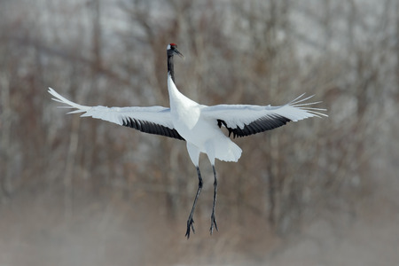 Flying White bird Red-crowned crane, Grus japonensis, with open wing, with snow storm, Hokkaido, Japan