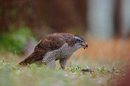 goshawk: Goshawk, Accipiter gentilis, bird of prey  feeding kill dark squirrel in the forest, nature habitat, France