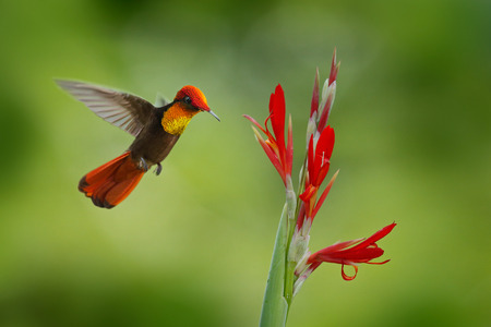 Red and yellow Ruby-Topaz Hummingbird, Chrysolampis mosquitus, flying next to beautiful red flower in Tobago Island