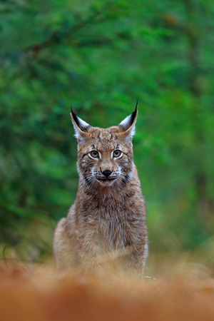 wild cat: Eurasian Lynx, portrait of wild cat sitting green forest