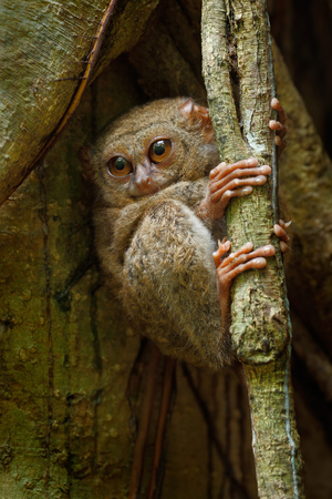Portrait of Spectral Tarsier, Tarsius spectrum, from Tangkoko National Park, Sulawesi, Indonesia, one of worlds smallest primates. They are nocturnal and use large eyes to hunt for prey. Фото со стока
