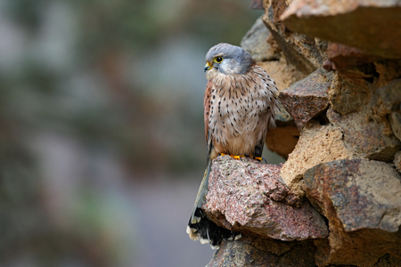 falconidae: Common Kestrel, Falco tinnunculus, little birds of prey sitting on the stone wall in the old castle, Germany