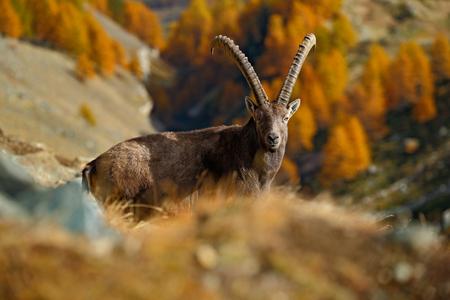 capra: Alpine Ibex, Capra ibex ibex, with autumn orange larch tree in background, National Park Gran Paradiso, Italy