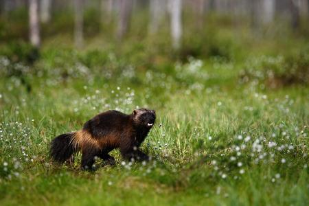 Running Wolverine in Finland tajga