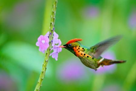 房状コケット、オレンジ色の紋と美しいピンクの花、アクション シーン、トリニダードの横に飛んで、緑と紫の花の生息地で襟付きカラフルなハチ