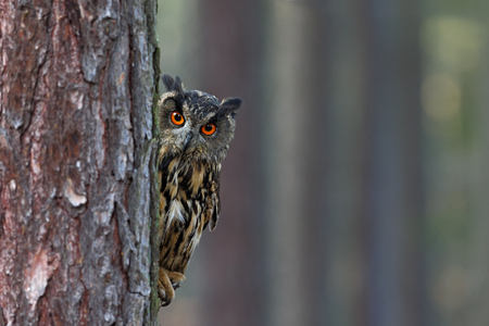eyes hidden: Eurasian Eagle Owl, Bubo bubo, hidden of tree trunk in the winter forest, portrait with big orange eyes, bird in the nature habitat, Norway