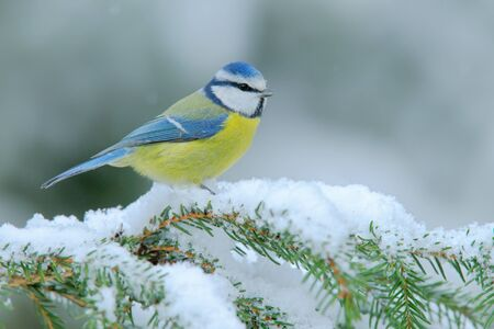 harmonie: Blue Tit, cute blue and yellow songbird in winter scene, snow flake and nice spruce tree branch, France Stock Photo