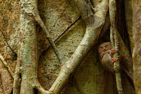 Spectral Tarsier, Tarsius spectrum, portrait of rare nocturnal animal, in the nature habitat, large ficus tree, Tangkoko National Park, Sulawesi, Indonesia, Asia Stock Photo