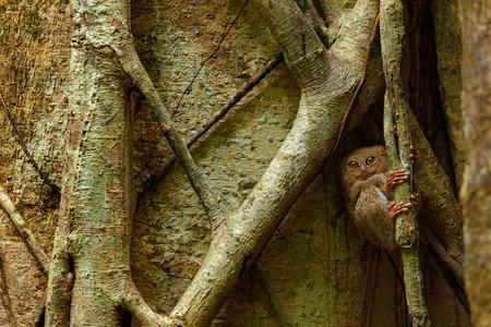 spectral: Spectral Tarsier, Tarsius spectrum, portrait of rare nocturnal animal, in the nature habitat, large ficus tree, Tangkoko National Park, Sulawesi, Indonesia, Asia Stock Photo
