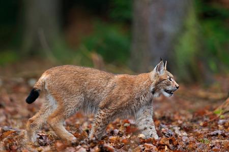 Walking wild cat Eurasian Lynx in orange autumn leaves, forest in background Stock Photo
