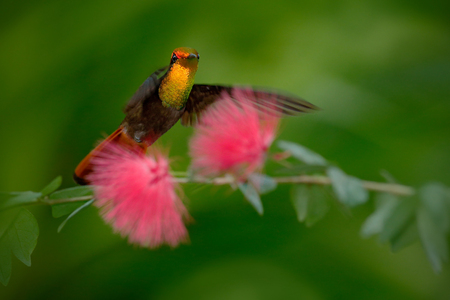 marvellous: Beautiful Ruby-Topaz Hummingbird from Tobago flying next to beautiful pink flower, clear green background