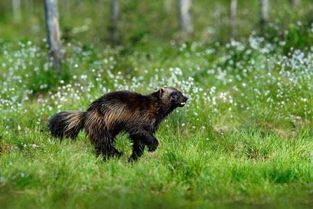 tenacious: Running tenacious Wolverine in Finland tajga