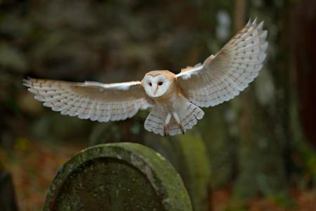 墓石に着陸の素晴らしい翼のメンフクロウ 写真素材