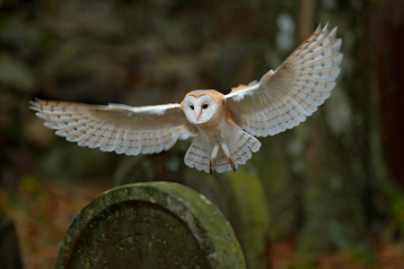 lechuza común con bonitas alas aterrizaje en la lápida