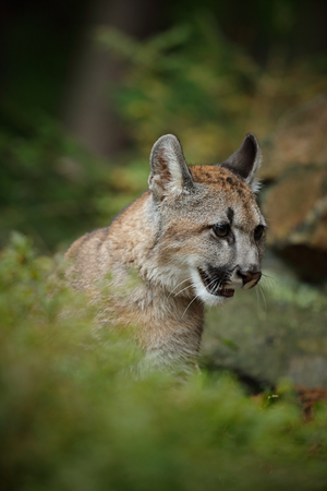 autum: Portrait of Mountain Lion in the autum green forest Stock Photo