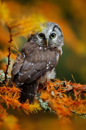 boreal: Boreal owl in the orange larch autumn forest in central Europe