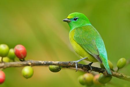 青-naped Chlorophonia、Chlorophonia cyanea エキゾチックな熱帯の緑歌鳥フォーム コロンビア