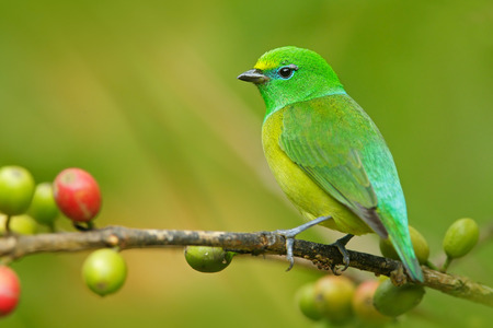 song bird: Blue-naped Chlorophonia, Chlorophonia cyanea, exotic tropic green song bird form Colombia