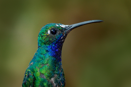 red mountain: Portrait of hummingbird White-tailed Sabrewing from Tobago Island Stock Photo