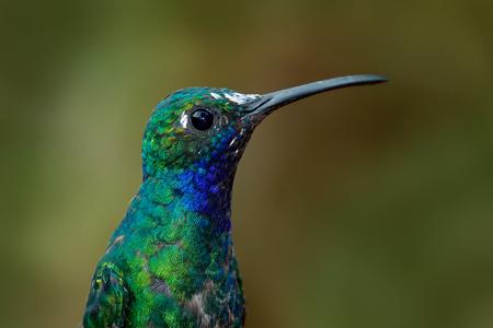 hummingbird: Portrait of hummingbird White-tailed Sabrewing from Tobago Island Stock Photo