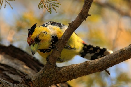 chobe national park: Yellow birds Crested Barbet, Trachyphonus vaillantii, Chobe National Park, Botswana