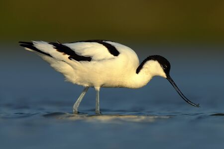 wader: Black and white wader bird Pied Avocet, Recurvirostra avosetta, in blue water, Texel, Holland