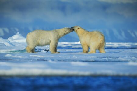 sea animal: Polar bear couple cuddling on drift ice in artict Svalbard