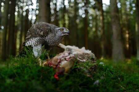 Bird of Prey Goshawk feeding kill hare with blood in forest - photo with wide lens for habitat Stock Photo