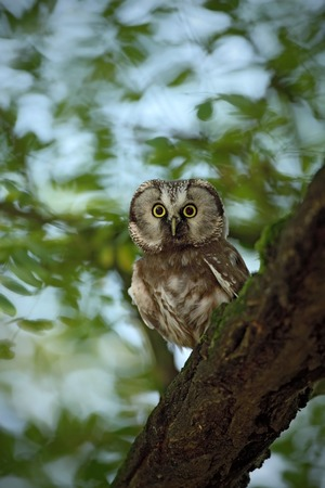 boreal: Small bird Boreal owl, Aegolius funereus, sitting on the tree branch in nece green forest background