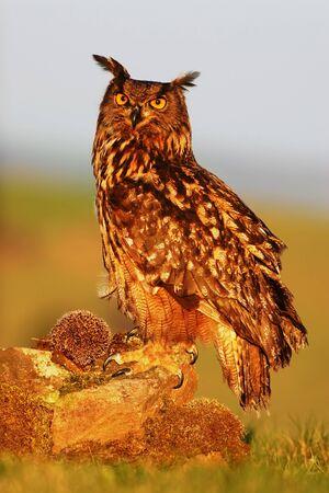 Eagle Owl, Bubo bubo, big Eurasian owl with kill hedgehog in talon, sitting on stone with evening sun light Stock Photo