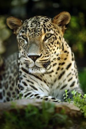 jaguar: Detalle el retrato de gato salvaje jaguar, Costa Rica
