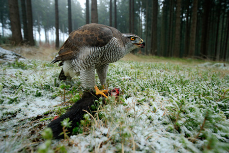 wide angle lens: Birds of prey Goshawk with kill catch red squirrel in the forest with winter snow - photo with wide angle lens