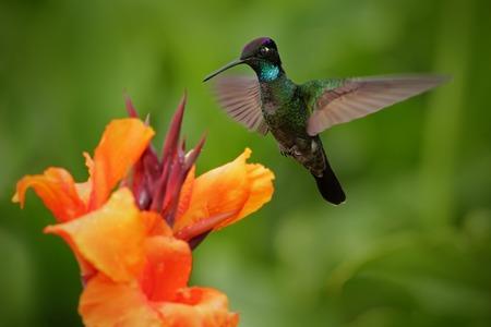 costa: Nice hummingbird, Magnificent Hummingbird