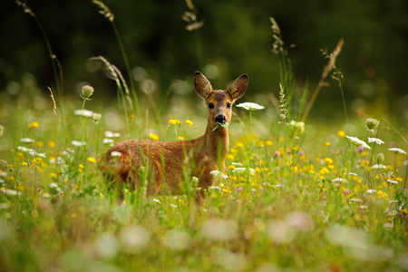 多くの白と黄色の花と動物、ノロジカ、Capreolus capreolus、緑の葉を噛むと美しい咲く草原