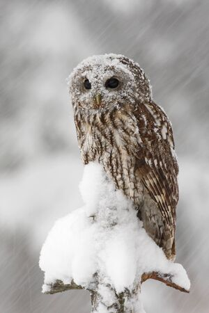 tawny owl: Tawny Owl snow covered in snowfall during winter