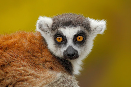 yellow tailed: Portrait of Ring-tailed Lemur, Lemur catta, with yellow clear background