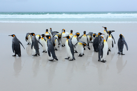 penguin colony: Group of king penguins coming back from the sea on white sand beach with wave a blue sky