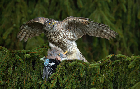 green jay: Bird of prey Goshawk kill European Jay on the green spruce tree Foto de archivo