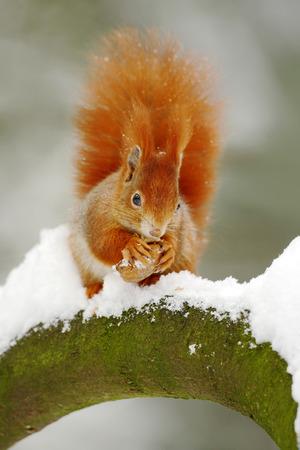 かわいい赤リスは雪で冬のシーンでナットを食べる
