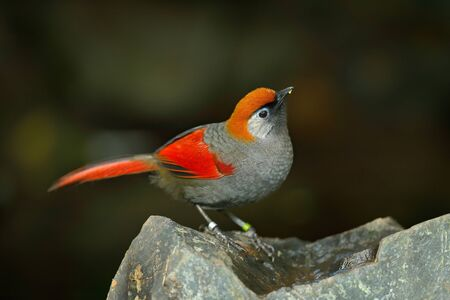 Red and grey songbird Red-tailed Laughingthrush, Garrulax milnei, sitting on the rock with dark background, China