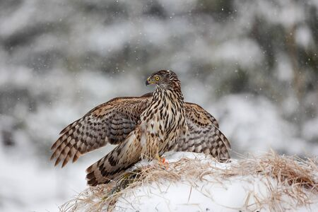 bird eating raptors: Bird of prey Goshawk kill bird and sitting on the snow meadow with open wings, blurred snowy forest in background