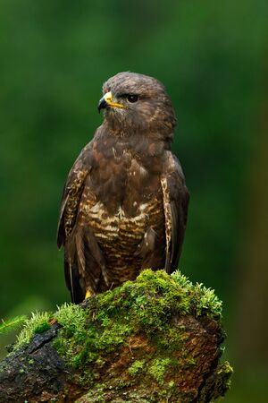 zopilote: Common Buzzard or Buteo buteo sitting on moss tree stump Foto de archivo