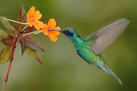 美しいかからず花の横にある緑と青のハチドリ輝く Violetear 飛行