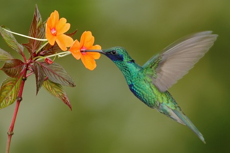 Green and blue hummingbird Sparkling Violetear flying next to beautiful yelow flower
