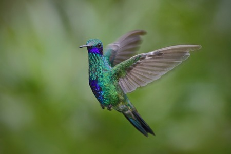 Flying hummingbird Sparkling Violetear with green forest background Фото со стока