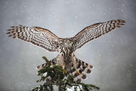 goshawk: Goshawk landing on spruce tree during winter with snow