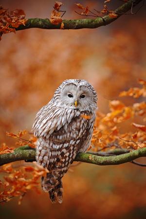 ural owl: Light grey Ural Owl, Strix uralensis, sitting on tree branch, at orange leaves oak forest