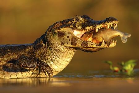 wildlife: Yacare Caiman, crocodile with fish in with evening sun, Pantanal, Brazil