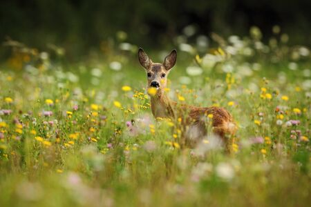 Roe deer, Capreolus capreolus, chewing green leaves, beautiful blooming meadow with many white and yellow flowers and animal