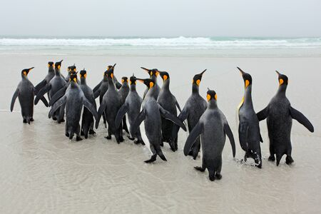 Group of king penguins coming back from sea tu beach with wave a blue sky